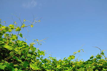vineyard and the sky