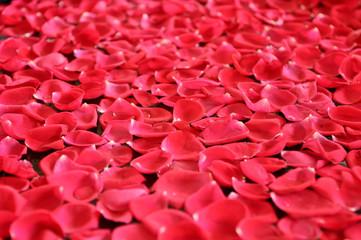 Pink Rose Petal Background
