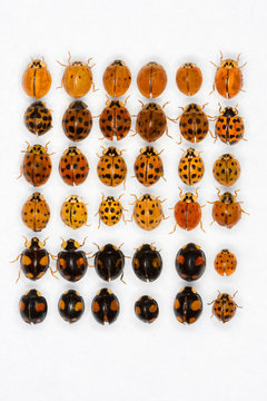 Multicolored asian lady beetles
