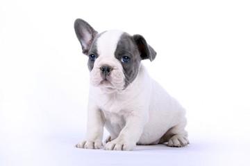 French Bulldogge Welpe