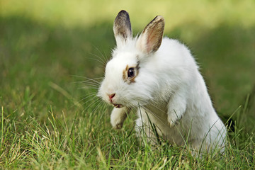 White rabbit on meadow, close-up