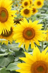 sun flowers closeup