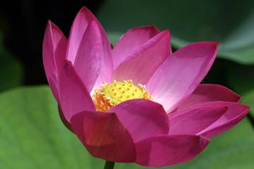 fior di loto fiori 458