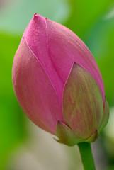 fior di loto fiori 461