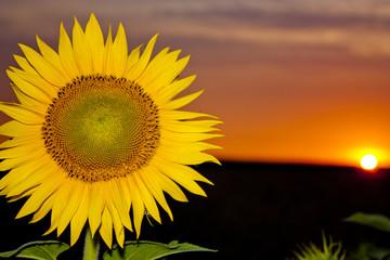 Sun flower at sunset