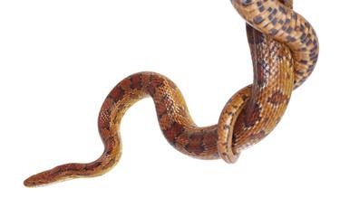 schlange snake 24