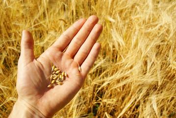 Succes, grain harvest