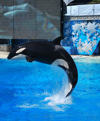 Photo sur Aluminium Dauphins Killer whale jumps