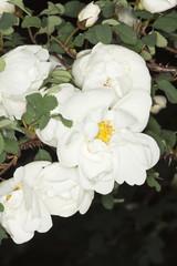 White garden rose.