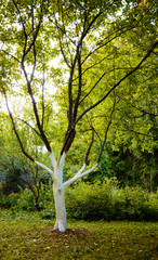 White apple tree trunk. Pest control.