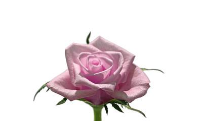 Fototapete - Rose