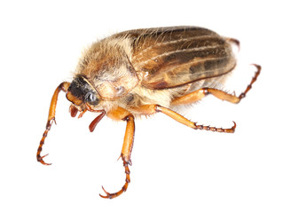 Summer chafer (amphimallon solstitiale) isolated