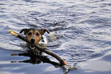Jack Russel in water