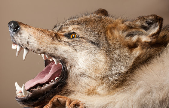 killed wild animal taxidermy