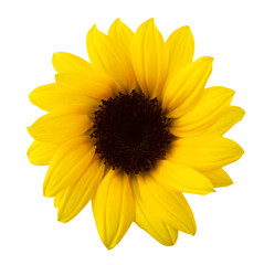 Gamboge color sunflower. Isolated on white background