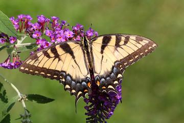 Fotoväggar - Female Tiger Swallowtail (papilio glaucas)