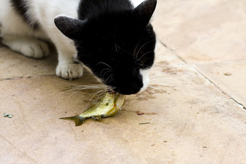 Cat eating a fish