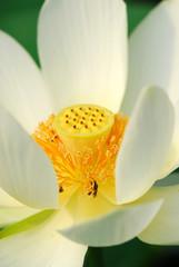 fior di loto fiori 496
