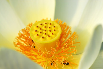 fior di loto fiori 497