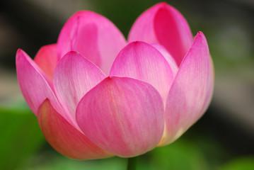 fior di loto fiori 513