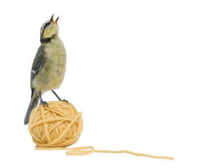Young Blue Tit, Cyanistes caeruleus standing on ball of wool