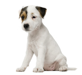 Parson Russell Terrier puppy sitting