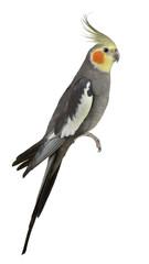 Cockatiel, Nymphicus hollandicus, perched
