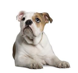 English Bulldog puppy, 3 months old, lying