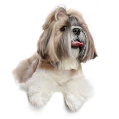 Shih tzu dog portrait on white