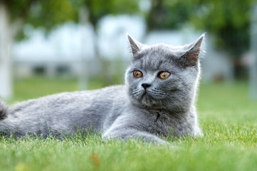 British cat on the green garden grass