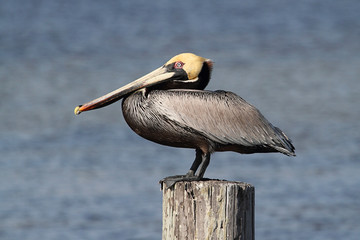 Fotoväggar - Brown Pelican (pelecanus occidentalis)