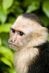 Monkey The white faced capuchin in Costa Rica