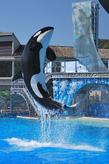 Fond de hotte en verre imprimé Dauphins killer whale high jump