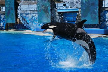 Photo sur Aluminium Dauphins Killer whale smile