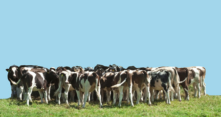 Small Herd of Young Cattle