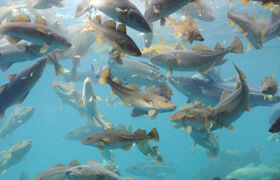 Fish circling, Atlantic Sea Park, Norway