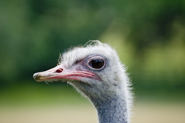 Landscape ostrich portrait
