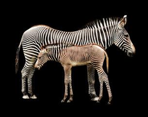 Poster Zebra Zebras in Shadows