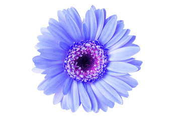 Bright Blue Gerber flower.