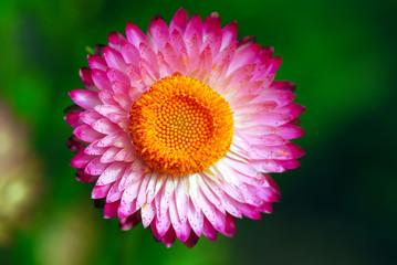 fiori 544