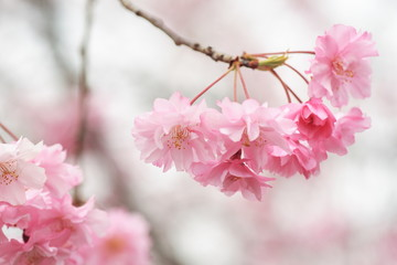 八重桜 double cherry blossoms