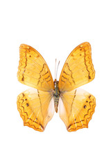 isolated sail butterfly