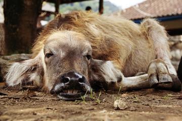 Balinesischer Wasserbüffel