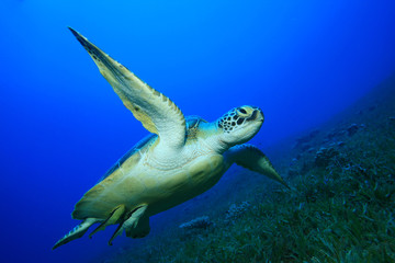 Green Sea Turtle (Chelonia mydas) with Remora fishes