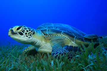 Green Sea Turtle (Chelonia mydas) on sea grass