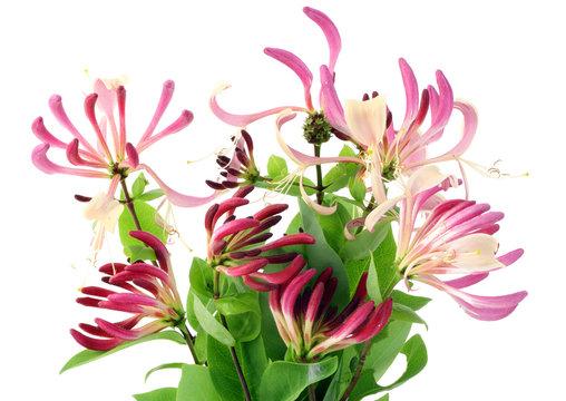 Decorative Honeysuckle flowers