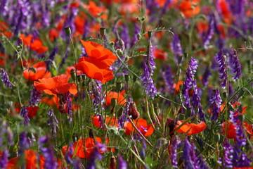Mohn Feld Blumen-Wiese