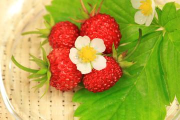 Wall Mural - Fragrant wild strawberries