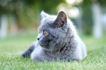 British cat. Looking back