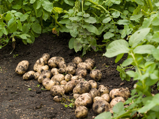 Freshly potatoes